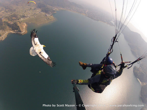 Parahawking helps to raise awareness about the problems facing Asia's vultures.