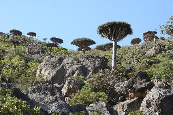 Strange trees on Socotra Island