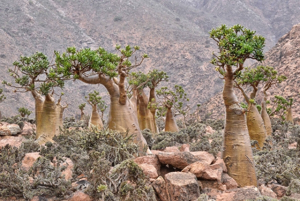 Bottle Trees on Socotra Island. They can grow on dry, barren terrain and even cliffs and rock faces