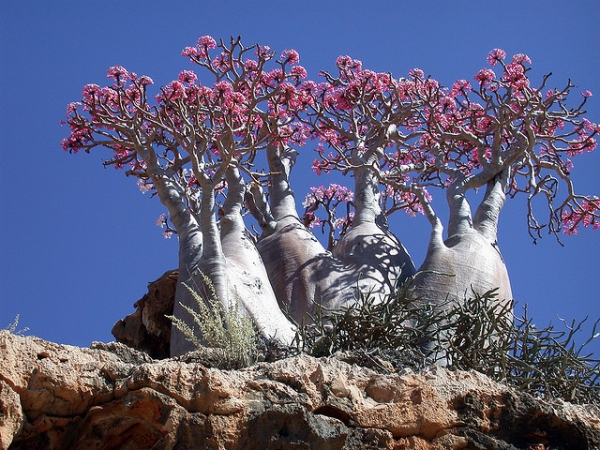 Bottle Trees on Socotra Island. Locals say that if a whole bunch of bottle trees flower, expect rain to hit Socotra Island soon.