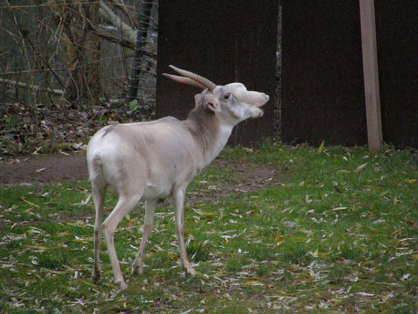 The Saiga Antelope is found mainly in Russia and Kazakhstan.