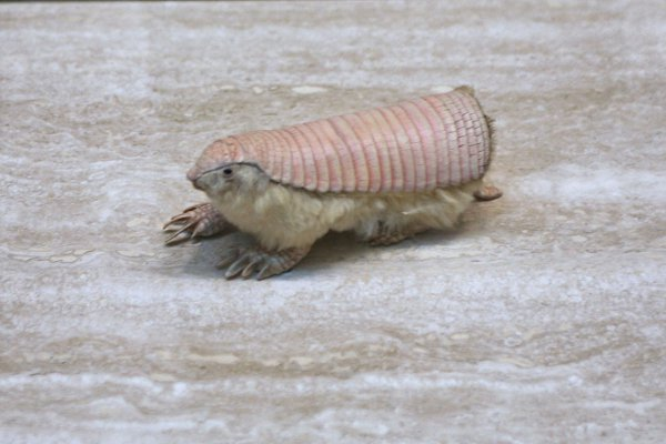 The Pink Fairy Armadillo can also completely bury themselves in the ground within seconds if they feel threatened.