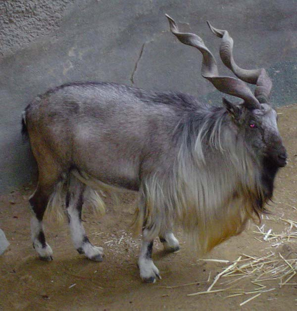 The Markhor is the national animal of Pakistan.