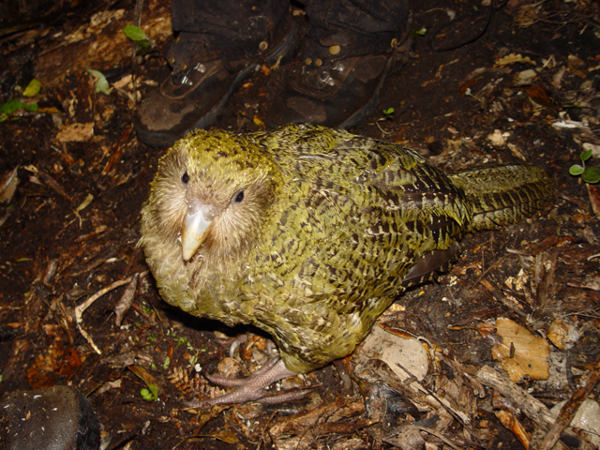 The Kakapo weighs about 8 pounds and never flies.