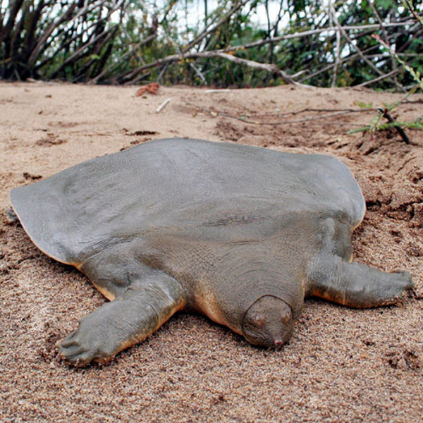 Cantor's giant softshell turtles spend about 95% of their lives buried in the sand.