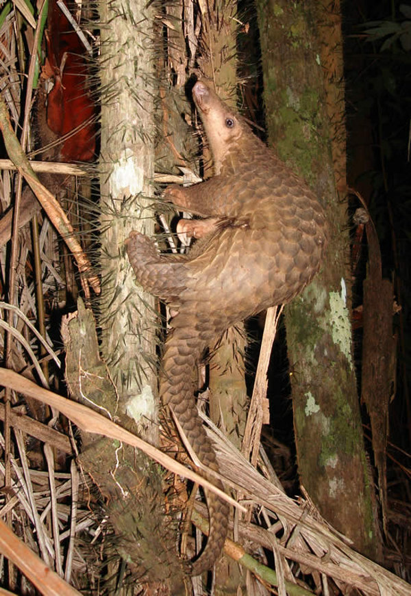 The sunda pangolin are hunted for food, fashion and use in traditional medicine.
